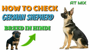 belgian shepherd kinds how to check pure german shepherd breed in hindi know your breed