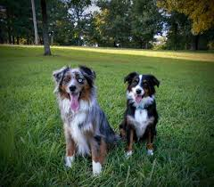 australian shepherd not eating raising a mini aussie what do i feed my mini aussies