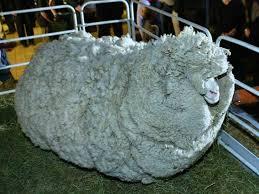 shrek sheep hasn u0027t shorn business