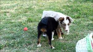 2 g rose australian shepherds mini aussies from rocking 2r kennel for easter youtube
