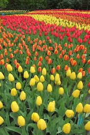 flower garden in amsterdam keukenhof gardens u2013 the shabby suitcase