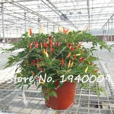 buy wholesale heirloom ornament pepper from china heirloom