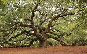 oak johns island south carolina sc