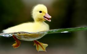 duckling tag wallpapers baby ducks birds duckling background