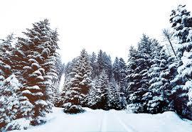 free photo snow pine trees winter free image on pixabay 1209987