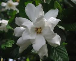 the gardenia care and varieties the planting tree