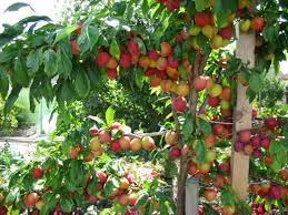 fruit trees for a small garden