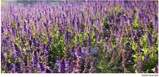 Weather Zones For Gardening - how to grow herbs for texas landscapes growing herbs