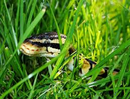 Where To Find Snakes In Your Backyard How To Keep Snakes Out Of Your Yard Suburbia Unwrapped