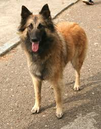 belgian sheepdog guard dog belgian tervuren