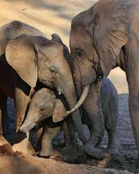 25 best elephant families images on