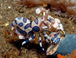 harlequin shrimp successfully captive raised by aquatic technology