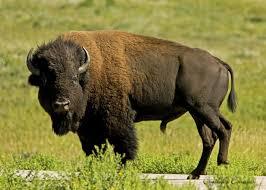 North Dakota wildlife images N d wildlife prints jpg