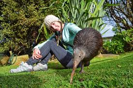 where to see kiwi birds in new zealand backpacker guide new zealand
