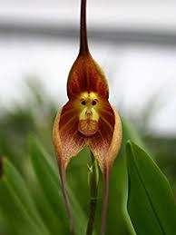 monkey orchid ambizu hot sale potted peru monkey orchid