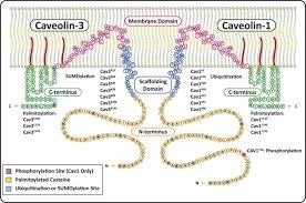 caveolins and cavins in the trafficking maturation and