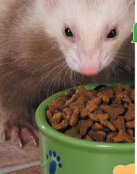 how to switch your ferret u0027s diet