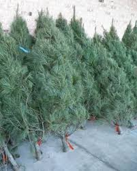 real christmas trees for sale boy scout troop 20 s christmas tree sale rockport ma usa