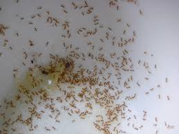 how to get rid of tiny ants in the kitchen kenangorgun com