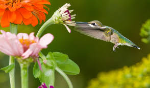 be a citizen scientist and help us protect the hummingbirds