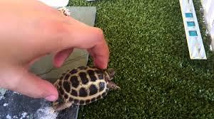 how to build a tortoise table custom built tortoise table youtube