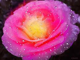 Nice Flower Picture - flower glowing flowers pink summer roses love rose nature