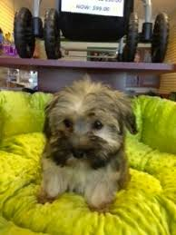 affenpinscher havanese mix havapoo havanese and poodle mix puppies for sale boca raton
