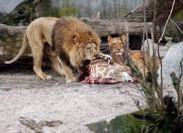 report danish zoo that killed giraffe also kills 4 lions cbs news
