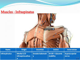 Innervation Of Infraspinatus Anatomy Of Shoulder Joint
