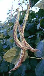 95 best bean plants images on pinterest bean plant long bean