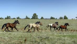 South Dakota how far can a horse travel in a day images Wild horses south dakota places to see what to see jpg