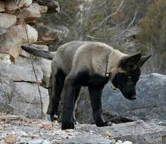 belgian shepherd kijiji 94 best images about adorable on pinterest sheep dogs tooth