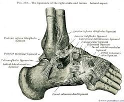 Talus Ligaments Getting To Know Your Ankles Yoga For Healthy Aging