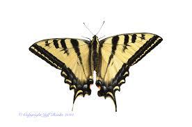tiger swallowtail papilio rutulus lucas 1852 butterflies