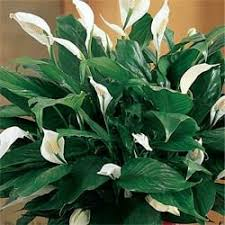 peace lilly peace garden outdoor