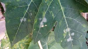 Common Plant Diseases - three common plant disease that can be found in your garden
