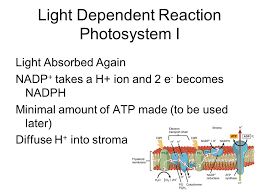 What Happens During The Light Reactions Of Photosynthesis 8 2 U0026 3 The Process Of Photosynthesis Key Questions What Happens