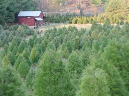 Helms Christmas Tree Farm - hamill christmas tree farm home facebook