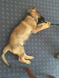 belgian shepherd edmonton puppy that failed police college lands swanky new career