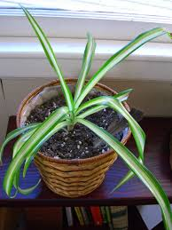 Spider Plant Spider Plant U2013 One Willow Apothecaries