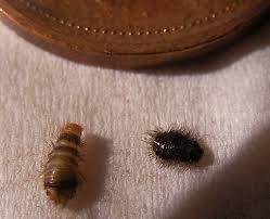 Small Black Bugs In Bed Carpet Beetle Larvae In Canada What U0027s That Bug