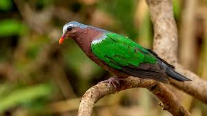light green color emerald dove light green color bird integral part of the indian