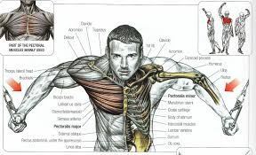Human Anatomy Male Chest Muscle Diagram Tag Chest Muscle Anatomy Male Human Anatomy