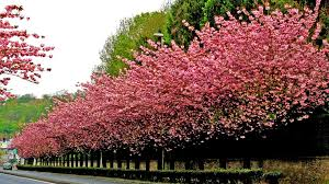 apple tree bloom wallpapers 1280x720 wallpapers page 1247 apple tree flower flowers nature