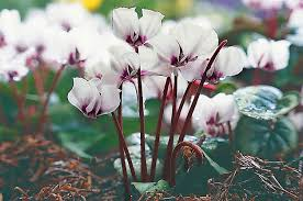 top 10 winter bloomers for your flower garden birds and blooms