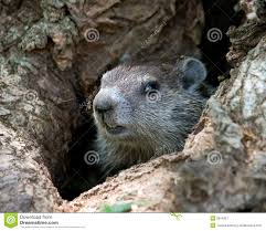 young groundhog stock photos images u0026 pictures 215 images