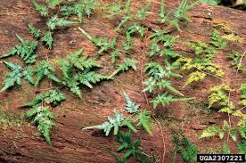 japanese climbing fern nonnative invasive plants of southern