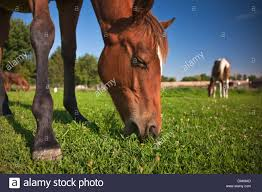 horse eating green grass with two additional horses in stock