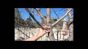 Blackmoor Fruit Trees - pruning fruit trees youtube