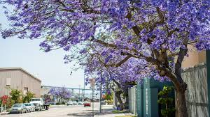 tree with purple flowers purple jacaranda fever hits san diego the horticult